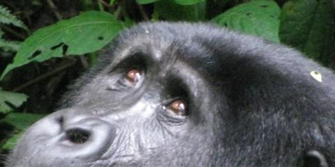 Uganda- Bwindi Impenetrable National Park (August 2011)