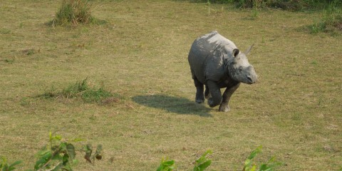 Rhinos (Kaziranga National Park, India)