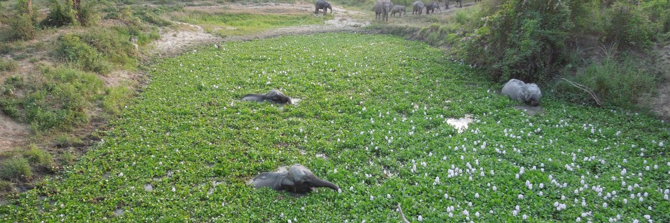 Elephants in the Pond (Kaziranga National Park India)